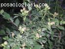 Pitomi sipurak - sadnice pitomog sipurka