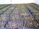 AKCIJA - Sadnice americke borovnice