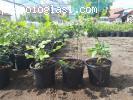 Sadnice borovnice Duke i Bluecrop � promotivna cena