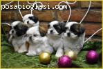 ŠICU �istokrvni štenci
