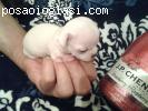 "Mini �ivave ""Princess Chihuahua """