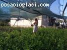 Americka borovnica sadnice -  septembarska akcija