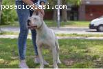 Vrhunska zenka DOGO ARGENTINO
