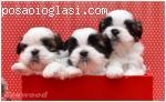 �istokrvni štenci ŠI-CU od izložbenih roditelja