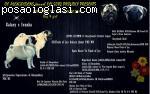 Muško štene MOPSA odli�nih krvnih linija