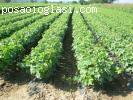 Rasadnik vocnih sadnica - NASTIC SASA