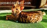 Bengalsko muško ma�e