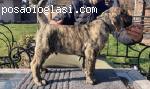 Dogo Canario stenci